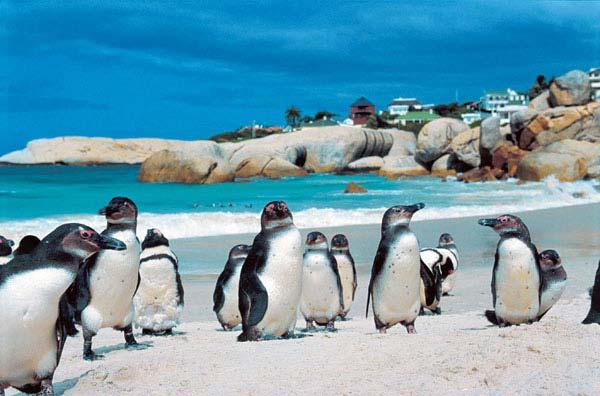 Golfresa till Sydafrika, Pingviner